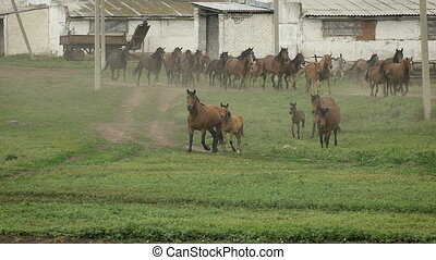 Herd of horses running on the pasture in autumn