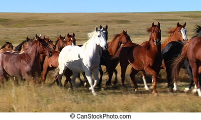 herd of horses trot in slow motion