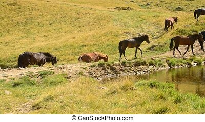 Herd of horses walk along a lake in mountain landscape in summer