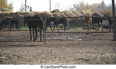 Herd of horses walking in paddock of farm. Purebred mares ...