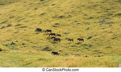 Herd of horses walking on pasture in mountains in late summer