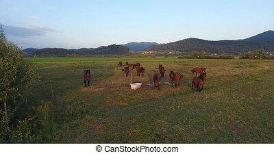 Herd of horses walking towards drone. Aerial footage.