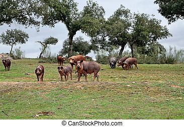 herd of Iberian pigs eating acorns of oaks in the fields of Extremadura, Spain
