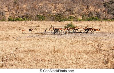 Herd of impala drinking water
