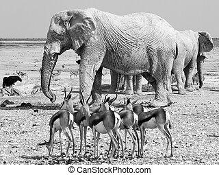 Herd of impalas and elephants at waterhole - Many elephants...