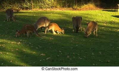 Herd Of Kangaroos Grazing In Yard - Steady, medium wide shot...