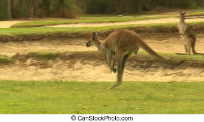 Herd Of Kangaroos Hopping On Golf Course - Handheld, medium...