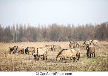 herd of konik horses in oostvaarders plassen in the...