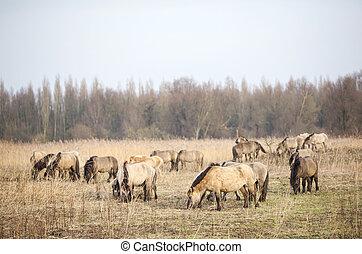 herd of konik horses in oostvaarders plassen in the...