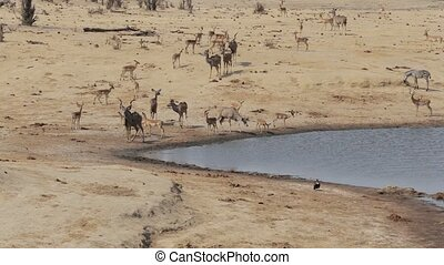 herd of Kudu and spingbok drinking from waterhole, Africa...