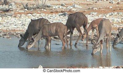 Herd of Kudus drinking at waterhole