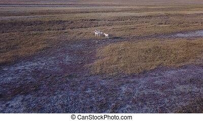 Herd of kulans, donkeys. Aerial survey - A herd of kulans,...