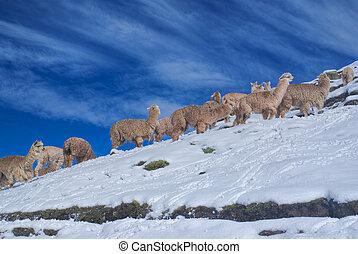 Herd of Llamas in Andes - Large herd of cute domestic ...
