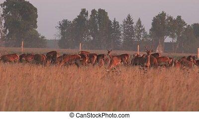 Herd of male and female bucks deers grown in captivity on...