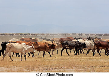 Masai cattle - Herd of Masai cattle on dusty plains, Kenya