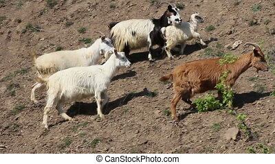 Herd of mountain goats go proudly, high in the rocky mountains.