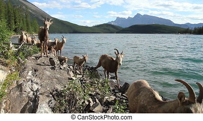 Herd of Mountain Sheep 01