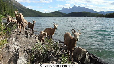 Herd of Mountain Sheep 02