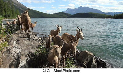 Herd of Mountain Sheep 03