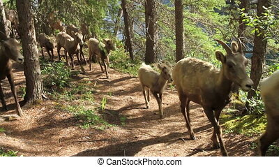 Herd of Mountain Sheep 04