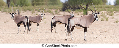 Herd of oryx standing on a dry plain looking