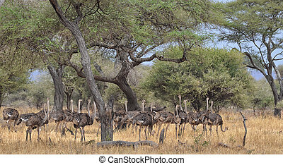 Herd of Ostriches 2