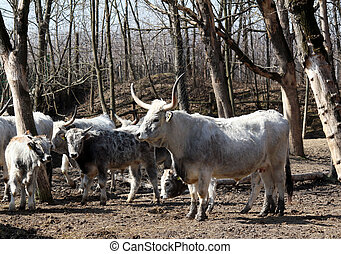 herd of Podolian cows with big horns