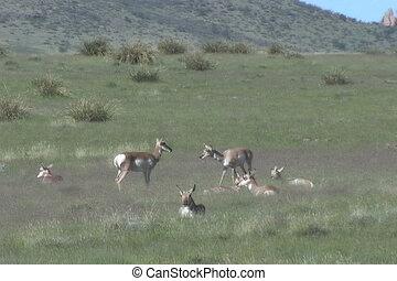 Herd of Pronghorn Antelope - a pronghorn antelope herd on...