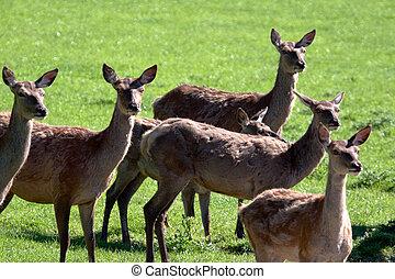 Herd of Red Deer (cervus elaphus)