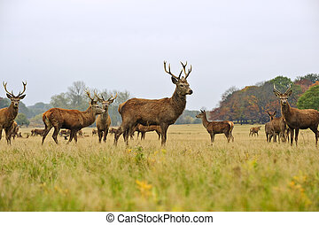 Herd of red deer stags and does in Autumn Fall meadow