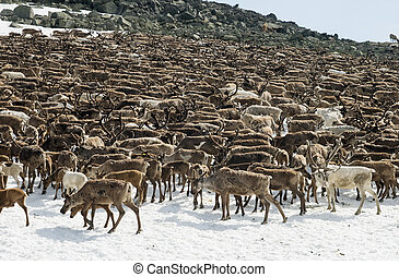 Herd of reindeers pasturing on a snow patch in Ural ...