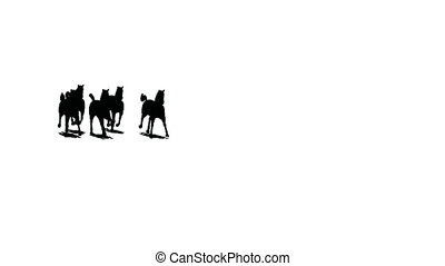 Herd of running horses comes nearer and keeps away, black silhouette on white background