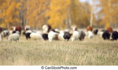 herd of sheep and cows grazing in a meadow near the forest in autumn in Siberia. King of the Meadow - Scottish Sheep and Cattle