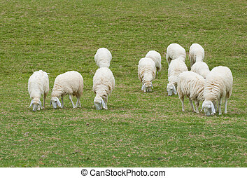 Herd of sheep eating green grass on the green field