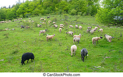 Herd of sheep graze on green pasture in the mountains