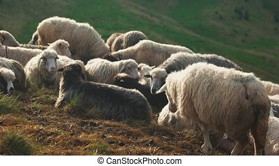 Herd of sheep grazing at pasture.
