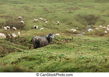 herd of sheep grazing in the mountains