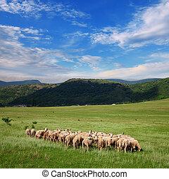 Herd of sheep grazing on pasture