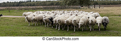 herd of sheep grazing on the grass