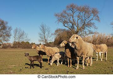 Herd of sheep in a meadow