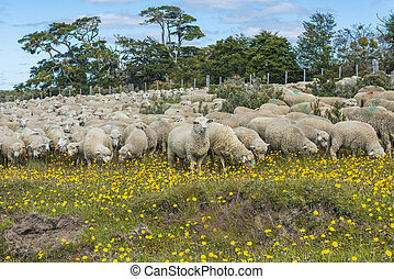 Herd of sheep in Tierra del Fuego