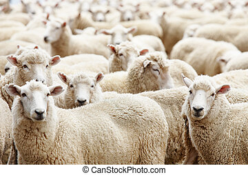 Herd of sheep - Livestock farm, herd of sheep