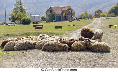 Herd of sheep lying on the road in the mountain village on a salty day