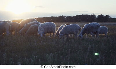 herd of sheep on a farm in the sunset.
