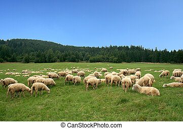 Herd of sheep on beautiful mountain pasture