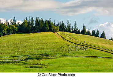 herd of sheep on grassy meadow. spruce forest on top of a...