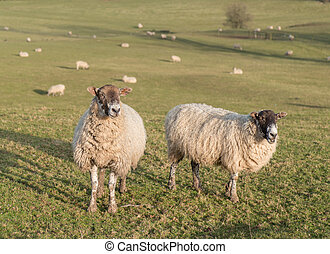 herd of sheep on hill farm