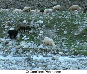 sheep - herd of sheep on mountain river bank