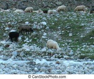 sheep - herd of sheep on mountain river bank