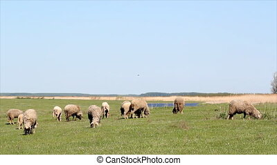 herd of sheep on pasture